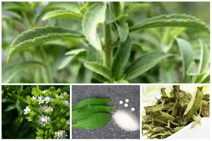 Photo of Stevia ou la plante miracle